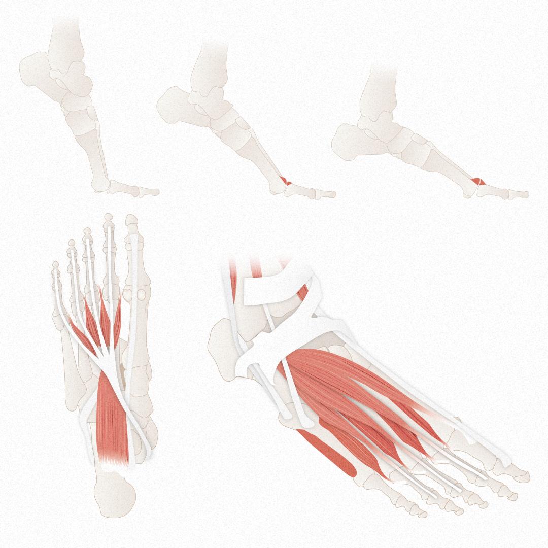 Füsse gut Übersicht Anatomie